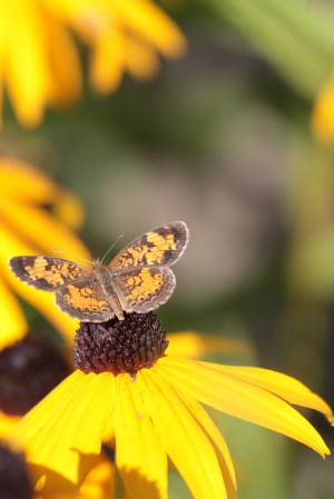 Pearl Crescent on Black Eyed Susan August 23, 2015 Photo by Michelle Sharp
