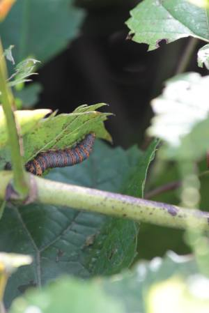 Wood Nymph Moth Caterpillar on Wild Grape August 25, 2015 Photo by Michelle Sharp