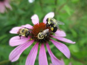 3 bees on Purple Coneflower August 26, 2015 Photo by Michelle Sharp