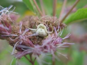 Crab spider hiding in Joe Pie Weed August 26, 2015 Photo by Michelle Sharp