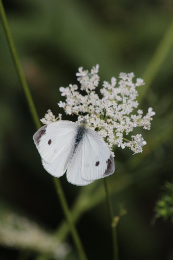 aug27_cabbage-white