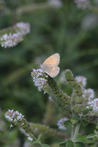 aug29_common-ringlet