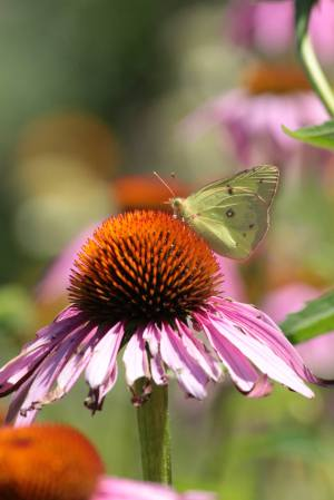 Clouded Sulphur on Coneflower August 2, 2015 Photo by Michelle Sharp