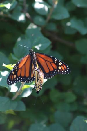 Mating Monarchs August 3, 2015 Photo by Michelle Sharp