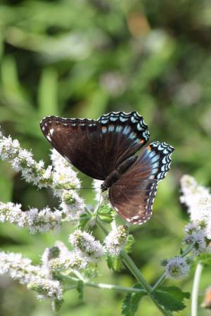 Red Spotted Purple on Mint August 3, 2015 Photo by Michelle Sharp