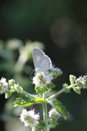 Summer Azure on Mint August 3, 2015 Photo by Michelle Sharp