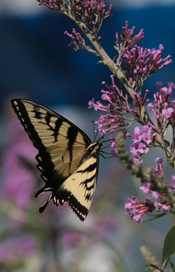aug3_tiger-swallowtail