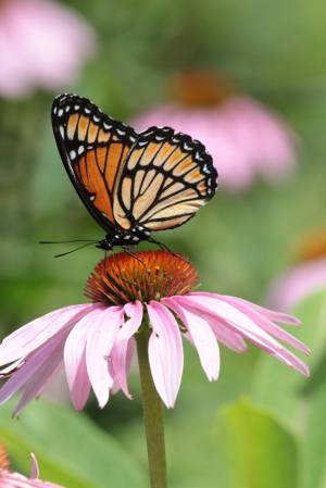 Viceroy on Coneflower August 3, 2015 Photo by Michelle Sharp