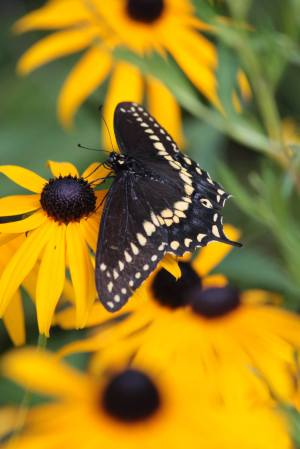 Black Swallowtail on Black Eyed Susan August 5, 2015 Photo by Michelle Sharp