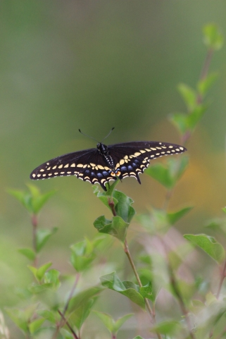 aug6-black-swallotail