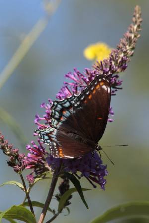 Red Spotted Purple on Buddleia August 7, 2015 Photo by Michelle Sharp