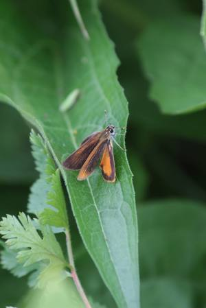 Least Skipper August 8, 2015 Photo by Michelle Sharp