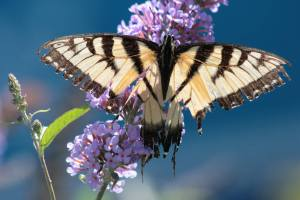 Tiger Swallowtail on Buddleia August 23, 2015 Photo by Michelle Sharp