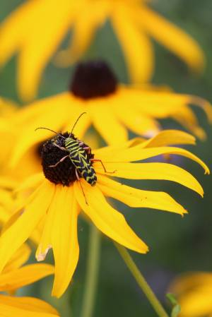 Locust Borer on Black Eyed Susan August 19, 2015 Photo by Michelle Sharp