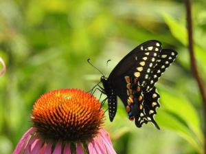 Black Swallowtail July 11, 2015 Photo by Bonnie Kinder