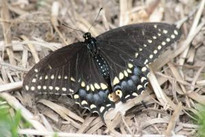 Black Swallowtail on Straw June 21, 2015 Photo by Michelle Sharp
