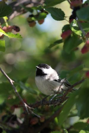 Chickadee among the Mulberries June 24, 2015 Photo by Michelle Sharp