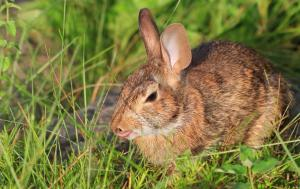 Cottontail Rabbit in the Early Morning Light July 10, 2015 Photo by Ron Rowan