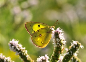 Orange Sulphur on Mint August 30, 2015 Photo by Minnie Ying