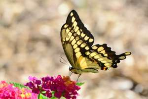 Giant Swallowtail on Lantana August 7, 2015 Photo by Joanne Redwood