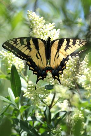 Tiger Swallowtail on Privet June 13, 2015 Photo by Michelle Sharp