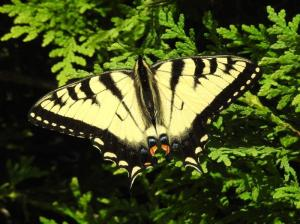 Eastern Tiger Swallowtail June 20, 2015 Photo by Bonnie Kinder