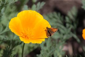 European Skipper on California Poppy June 13, 2015 Photo by Michelle Sharp