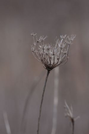Queen Anne's Lace February 6, 2016 Photo By Michelle Sharp