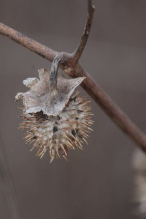 Datura Seed Pod February 6, 2016 Photo By Michelle Sharp