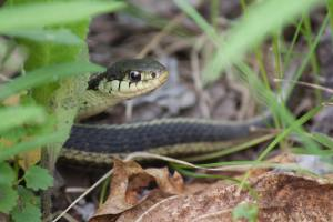 Garter Snake May 17, 2015 Photo by Michelle Sharp
