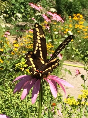 Giant Swallowtail August 2, 2016 Photo by Jessah
