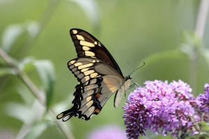 Giant Swallowtail on Buddleia July 31, 2015 Photo by Cathy Braithwaite