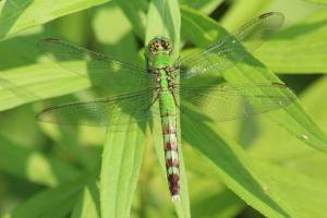 Eastern Pondhawk Dragonfly – Female July 11, 2015 Photo by Michelle Sharp