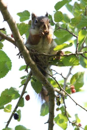 Red Squirrel eating Mulberries July 11, 2015 Photo by Michelle Sharp