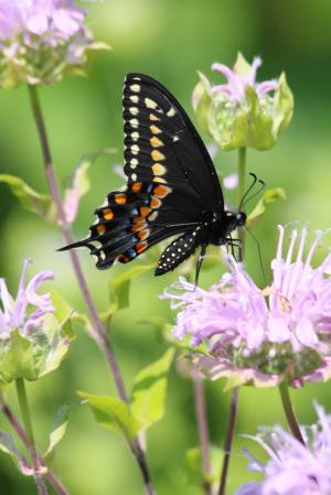 Black Swallowtail on Wild Bergamot July 11, 2015 Photo by Michelle Sharp