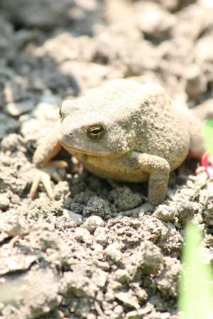American Toad July 11, 2015 Photo by Michelle Sharp