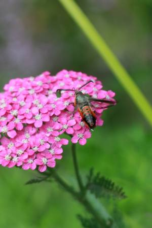 Squash Vine Borer Clearwing Moth on Yarrow July 13, 2015 Photo by Michelle Sharp