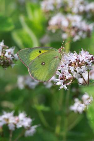 Sulphur on Oregano July 13, 2015 Photo by Michelle Sharp