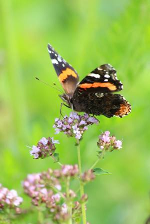 Red Admiral on Oregano July 12, 2015 Photo by Michelle Sharp