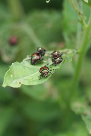 Japanese Beetles July 12, 2015 Photo by Michelle Sharp