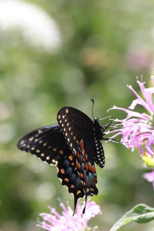 Black Swallowtail July 15, 2016 Photo by Michelle Sharp