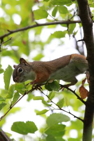 Red Squirrel on Mulberry Tree July 18, 2015 Photo by Michelle Sharp