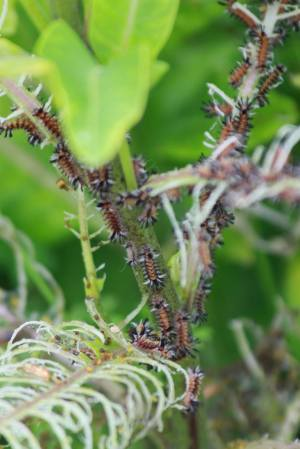 Tussock Moth Caterpillars on Milkweed July 18, 2015 Photo by Michelle Sharp