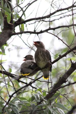 Young Cedar Waxwings July 18, 2015 Photo by Michelle Sharp
