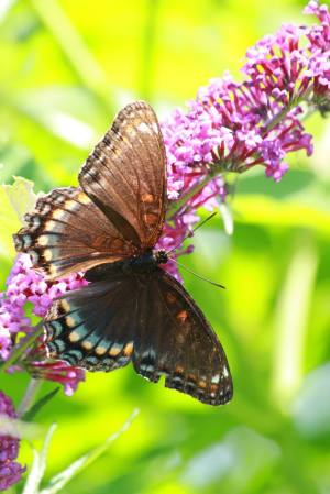 Red Spotted Purple on Buddleia July 18, 2015 Photo by Michelle Sharp