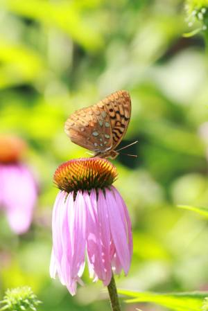 Great Spangled Fritillary on Purple Coneflower July 18, 2015 Photo by Michelle Sharp