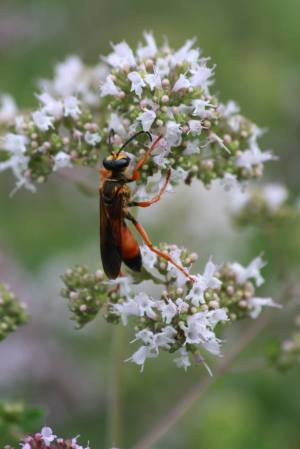 Great Golden Digger Wasp on Oregano July 19, 2015 Photo by Michelle Sharp