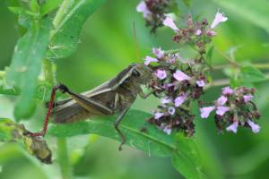 Grasshopper on Oregano July 19, 2015 Photo by Michelle Sharp