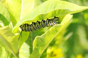 Monarch Caterpillar Munching on Milkweed July 21, 2015 Photo by Michelle Sharp