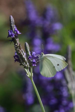 Cabbage White on Fern Leaf Lavender July 22, 2015 Photo by Michelle Sharp